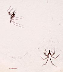 ... der Tanz der Spinnen ...