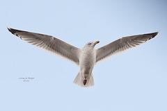 Lesser black-backed Gull / Kleine Mantelmeeuw (Larus fuscus)
