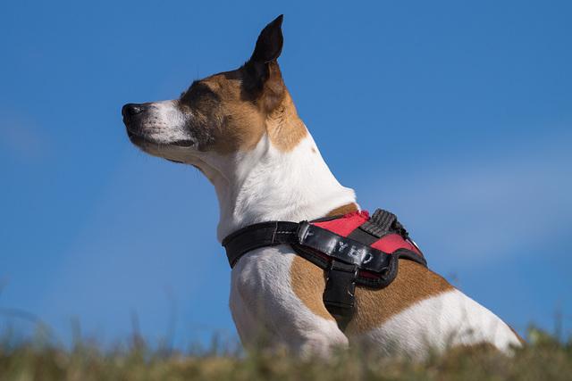 Jack Russell Terrier Rico DSC09391