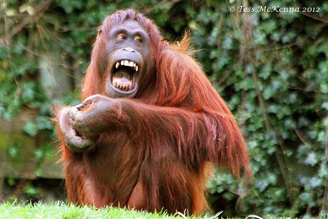 Orangutan  073