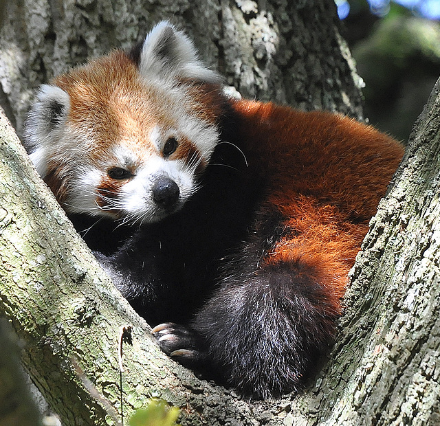 Red Panda at Marwell Zoo