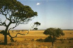 Africa,elephants  -  scanned from a Kodachrome II slide