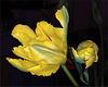Valentin's Day Tulips