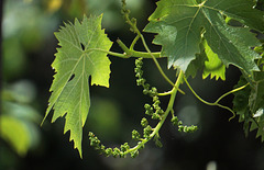 Ruhrwein mit Blütenknospen