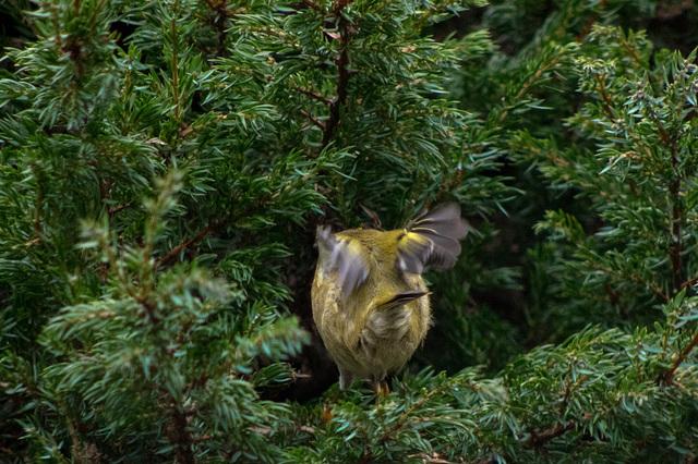 Goldcrest  - all of a flutter!