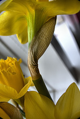 Daffodil.....with parchment folds!