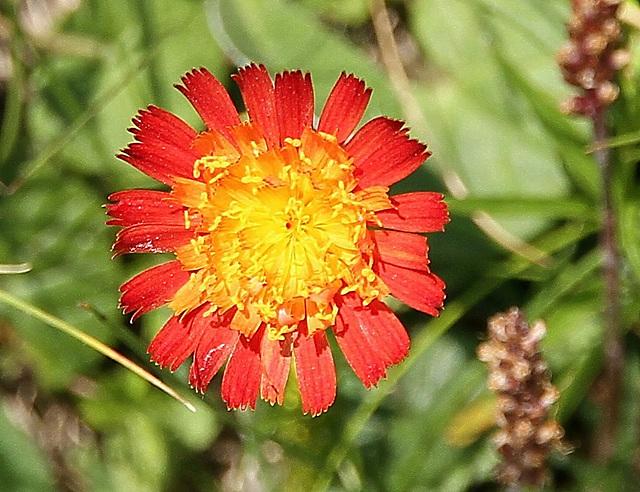 Alpenblume, einzeln stehend