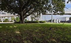 Ground Level Under a Huge Fig tree