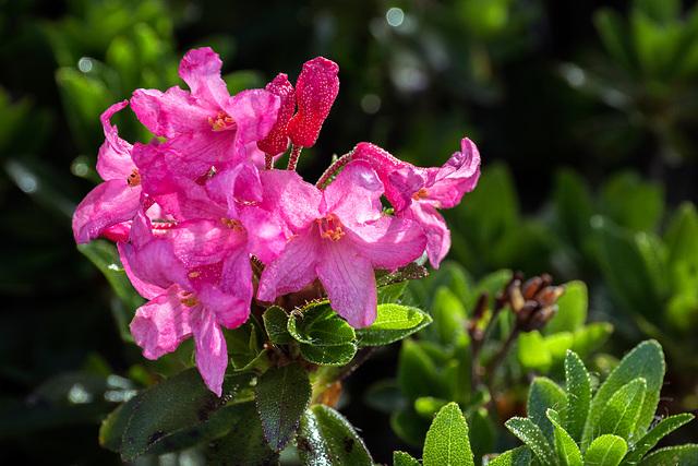Hairy Alpenrose