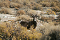 Young bighorn ram