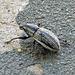 Naupactus leucoloma (Whitefringed Weevil)