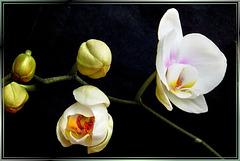 The second blossom opens... ©UdoSm