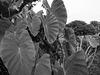 Eddoe leaves