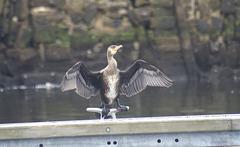 oaw - whn - cormorant 00