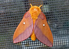 Pink-striped Oakworm Moth