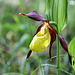 Gelber Frauenschuh - yellow slipper orchid - l'orchidée sabot de Vénus  (2 PIP - 2 d´image dans d´image)