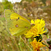 Sulphur butterfly (Coliadinae)
