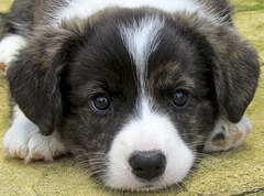 Cardigan Corgi pup - about 8 weeks old