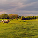 Sheep at Sunset, HFF