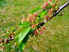 Future cerises... Future cherries.. [ON EXPLORE]