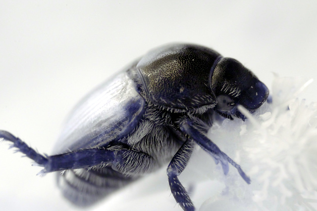 Japanese beetle 3:1-magnification infrared