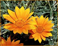 Asteraceae - (912)
