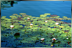 First rays of sunlight in the water lily field...  ©UdoSm