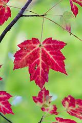 Canada - Gatineau Park - Maple Leaf