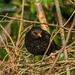 Blackbird.33jpg