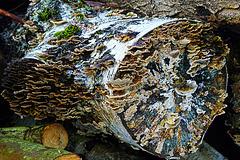 Baumpilze -  Tree Fungi
