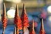 Aloe arborescens flower