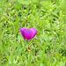 Day 2, Winecup flower, Newbury Park Hummingbird Garden