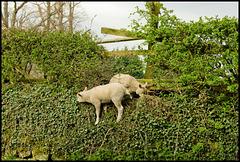 Mountain sheeps II