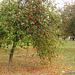 Ornamental Apple Tree