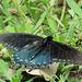 Day 2, Pipevine Swallowtail, Newbury Park Hummingbird Garden