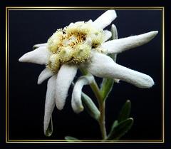 Edelweiss. ©UdoSm