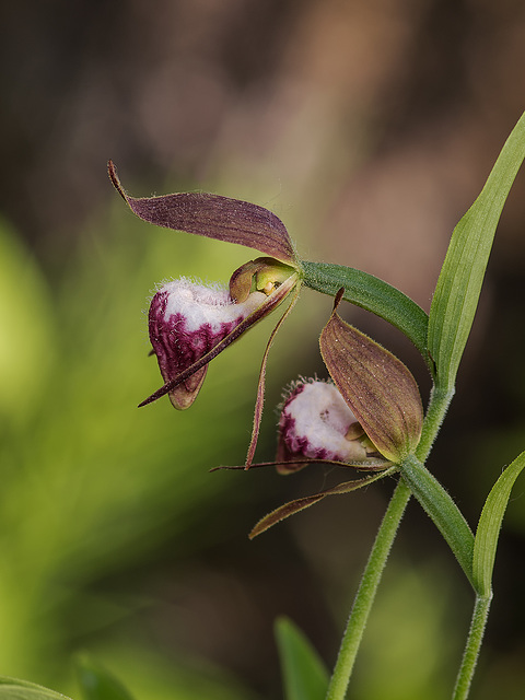 Cypripedium arietinum (Ram's Head orchid)