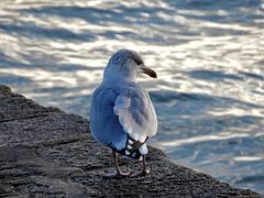 le goeland marin,,