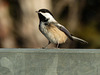 03 Black-capped Chickadee