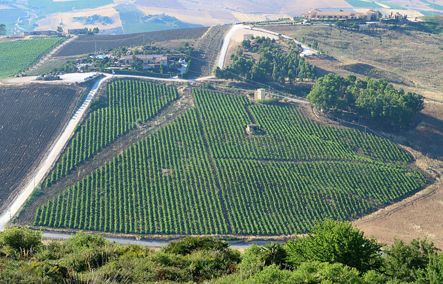 A very orderly vineyard