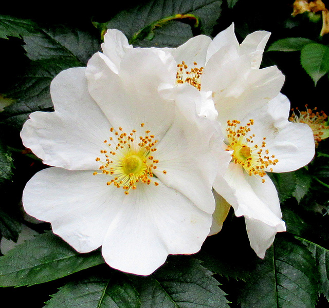 EGLANTINES / WILD ROSES