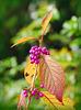 Früchte am Liebesperlenstrauch