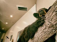 Barbershop Bear
