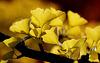 L' Or du Ginkgo