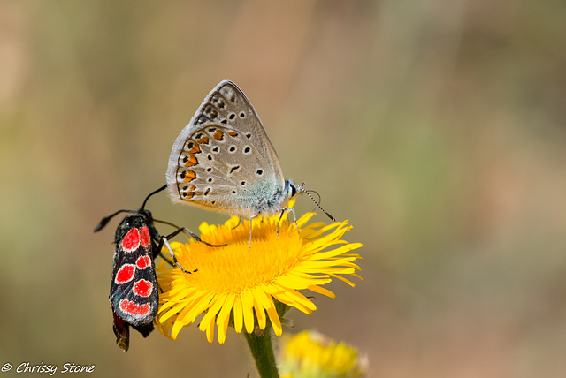 Common Blue and friend