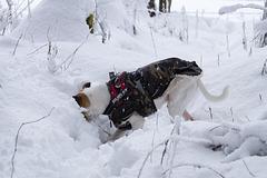 Jack Russell Terrier Rico DSC00044
