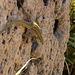 Lizard on vertical rugged rock.