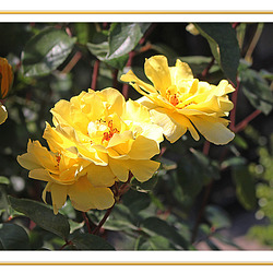 Yellow roses at Oak House - 3.7.2018