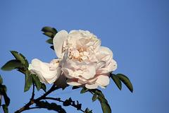 Späte Rose (Wilhelma)