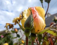 une rose pour notre Ami Karp qui nous a quittés
